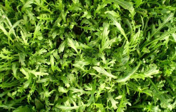Рукола: особенности выращивания, которые нужно знать