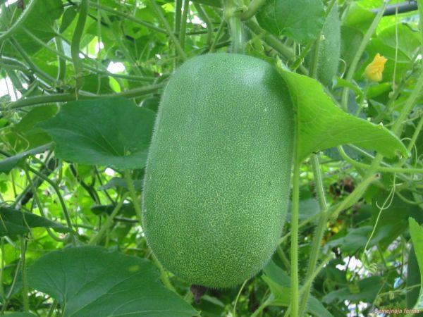 Садовая диковина - Бенинказа