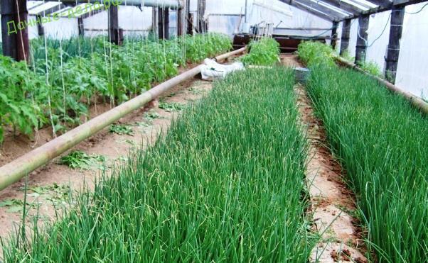Выращивание лука в теплицах зимой: советы и рекомендации