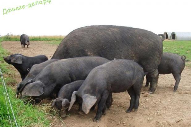 Какая порода свиней самая выгодная для выращивания