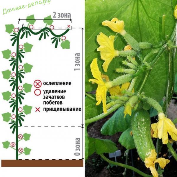 Выбираем семена огурцов с суперпучковым типом завязей