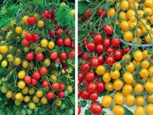 Лучшие сорта томатов для любой погоды