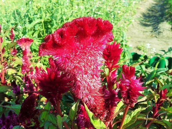 Выращивание, уход и сорта целозии