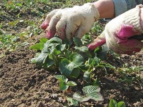 Условия богатого урожая земляники – секретные технологии