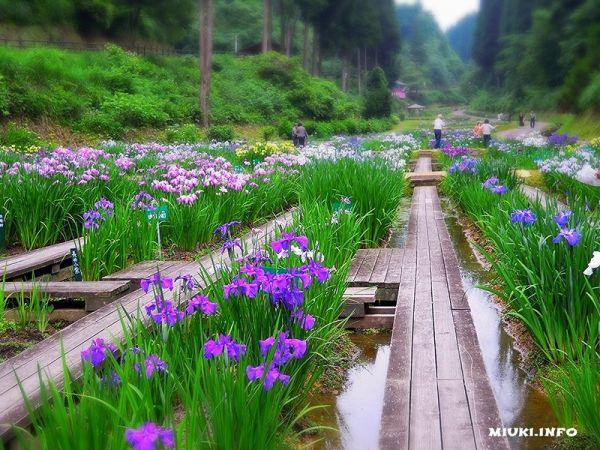 Водный сад ирисов