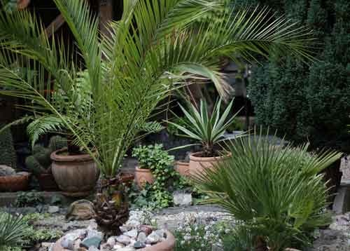 Комнатные пальмы