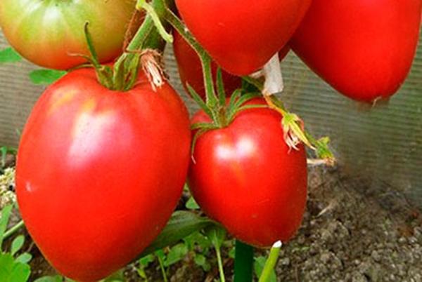 Описание сорта томата Королевич, его характеристика и выращивание