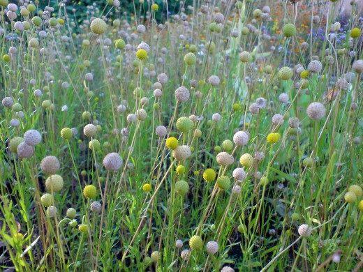 Цефалофора – земляничная трава