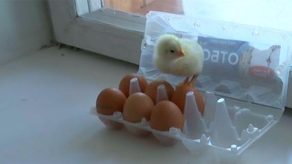 Неожиданная встреча: вернувшиеся с дачи москвичи нашли в своей квартире живых цыплят