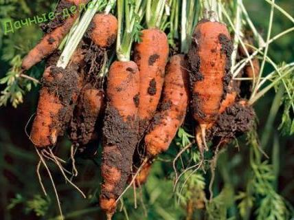 Ризоктониоз моркови. 5