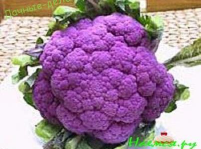 Пурпурные сорта брокколи 11