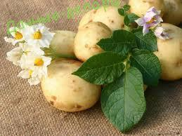 Лечебные свойства картофеля 6