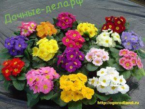 Примула садовая (первоцвет) 4