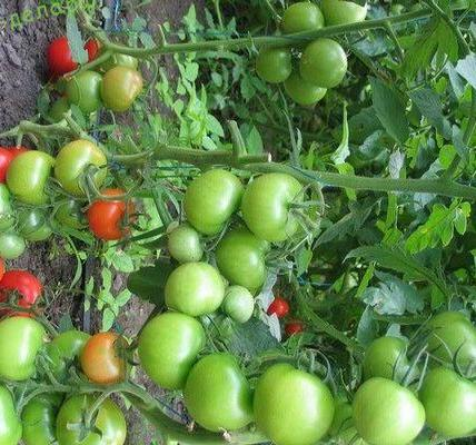 Характеристика и описание сорта томата Таня 5