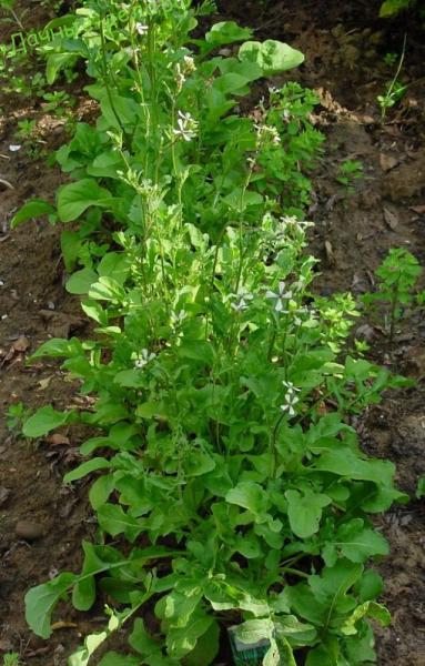лекарстеенные растения из приморья термобелье: походы треккинг