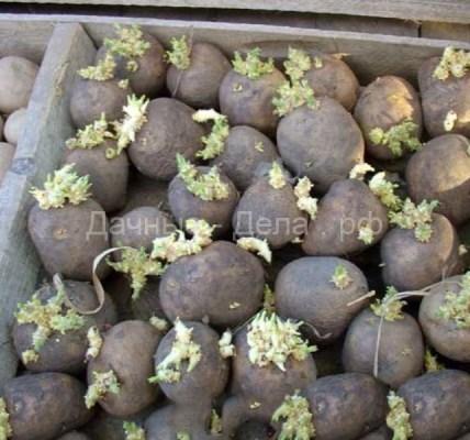 Проращивание посадочного картофеля 6