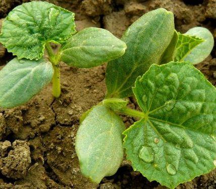 6 самых частых проблем при выращивании огурцов 5