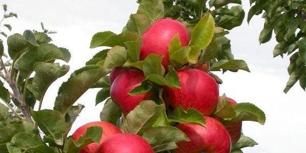 Колонновидные яблони: плюсы и минусы 1