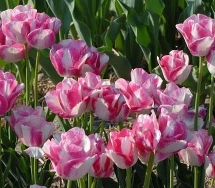 Букетные тюльпаны 4
