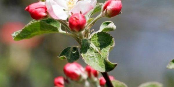 Весна на подоконнике: как заставить расцвести веточку яблони или смородины прямо сейчас 6