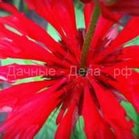 Ароматный и полезный: выращивание бергамота садового — монарды