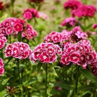 Гвоздика садовая многолетняя — посадка, выращивание и уход
