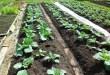 Полезные советы по выращиванию капусты