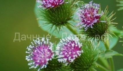Полезный сорняк: целебные свойства репейника 7