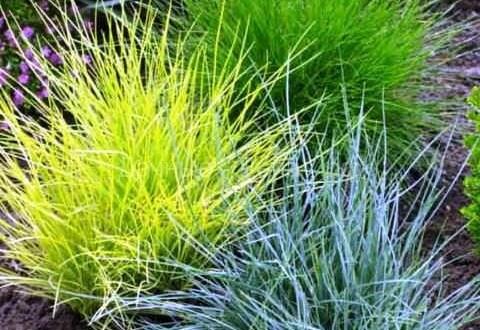 Овсяница – как сделать декоративную травку красивой