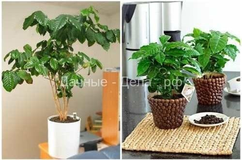 Домашний цветок — кофейное дерево