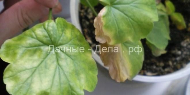 Уход за геранью зимой в домашних условиях почему пеларгония сохнет в квартире Как заставить ее цвести Что делать если она погибает