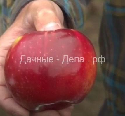 В США вывели сорт яблок с очень долгим сроком хранения 3