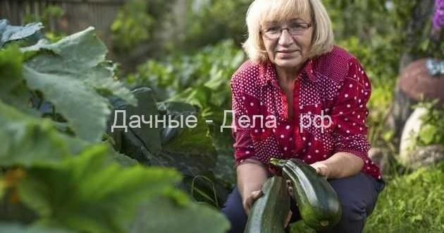 Кабачки и патиссоны: агротехника – залог урожая