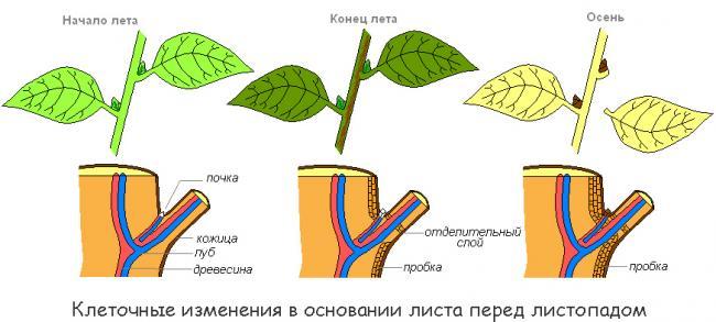 Почему осенью опадают листья с деревьев