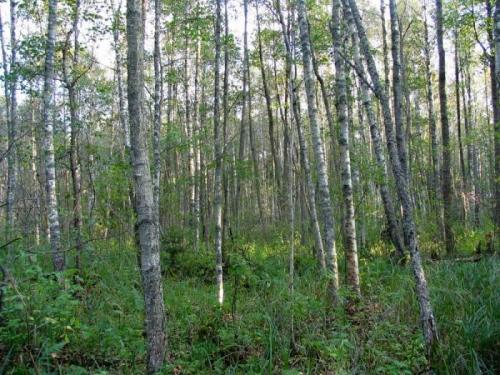 Мелколиственные деревья список