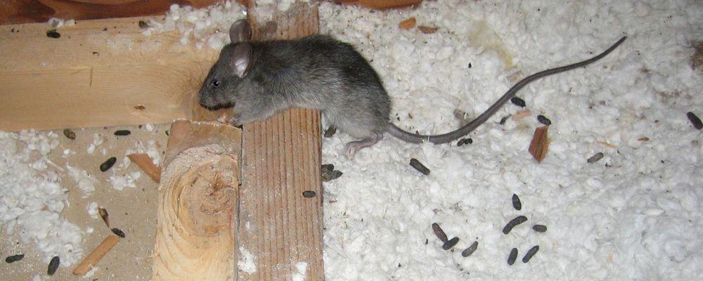Уничтожение мышей в частном доме