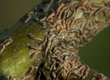 Щитовка на деревьях и как с ней бороться. Фото. Цены. Способы