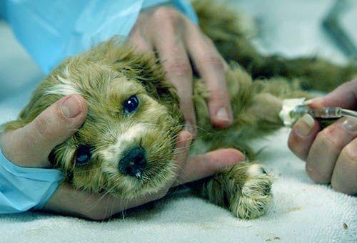 Дезинфекция после чумки у животных кошек и собак