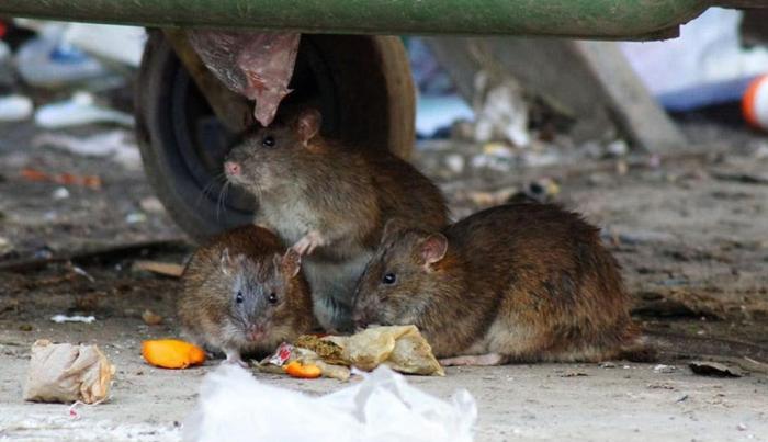 Какой вред от крыс?