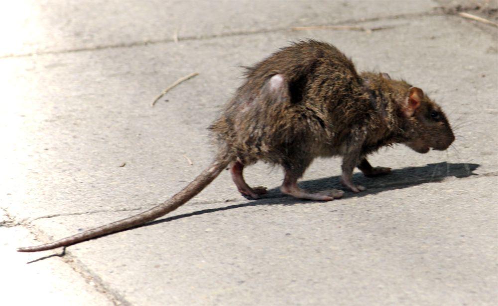 Дезинфекция грызунов крыс и мышей в Москве