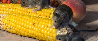 Как избавиться от мышей в квартире навсегда