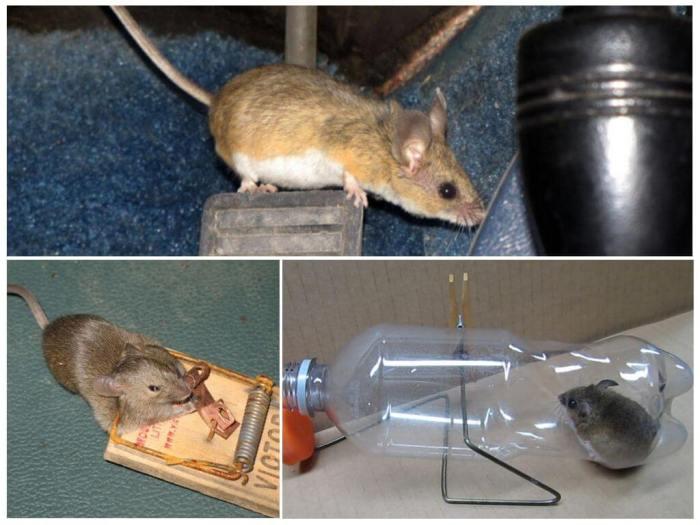избавиться от мышей в квартире