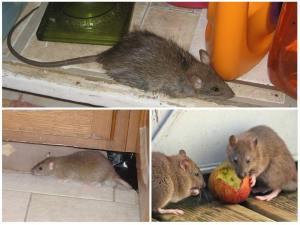 Уничтожение мышей в квартире