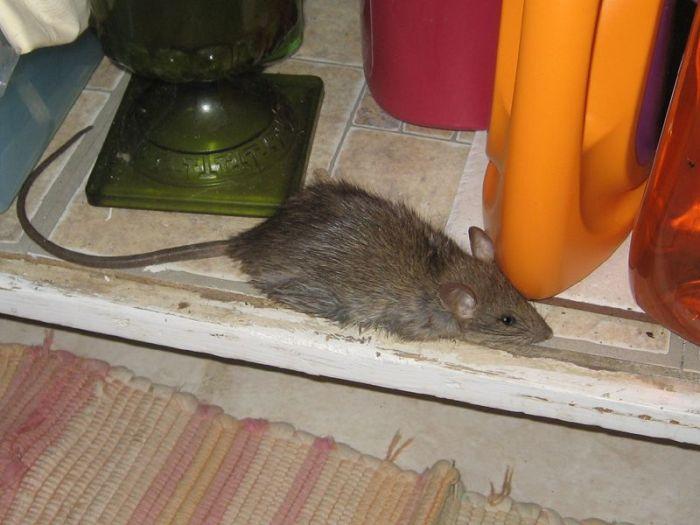 Куда обращаться по поводу крыс, мышей, грызунов