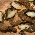 короед личинка
