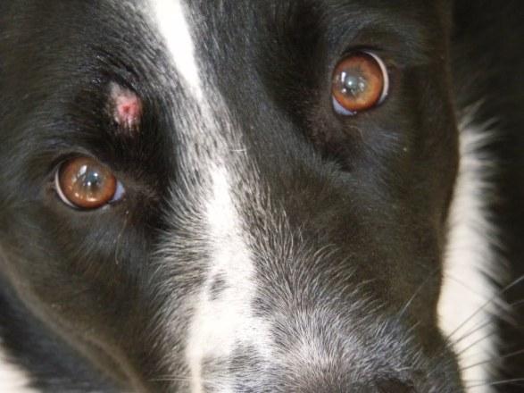 Дезинфекция после лишая у собаки (микроспории)