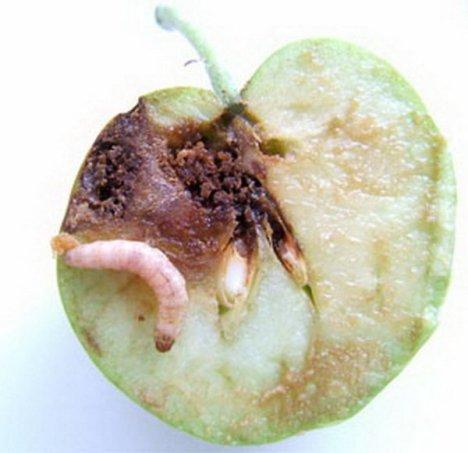Плодожорка на деревьях и кустах, как бороться. Цены. Фото