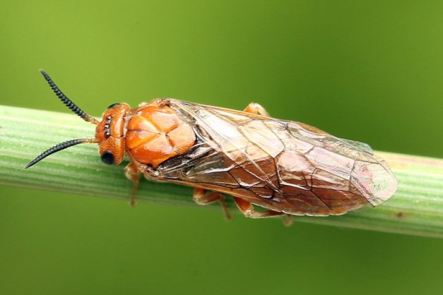 Гусеницы на соснах, сосновый пилильщик, фото, описание