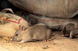 Дератизация от грызунов от крыс и мышей в Москве