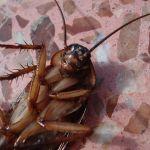Уничтожение тараканов г. Раменское